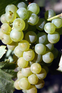 Chardonnay - photo courtesy Dusan Jelic, Belgrade, Serbia