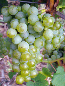 Sauvignion Blanc - photo courtesy Dusan Jelic, Belgrade, Serbia