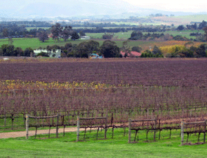 Winter vines, Bendigo, Victoria