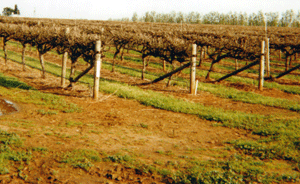 The red soils of Coonawarra, South Australia