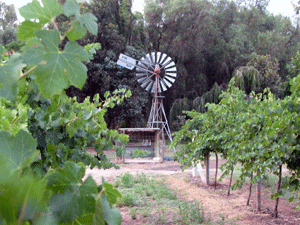 Windmill amongst vines, Swan Hill